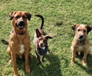 OKC Vet Campus Dog Boarding - three amigos